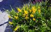 Janowiec: rośliny miododajne w ogrodzie